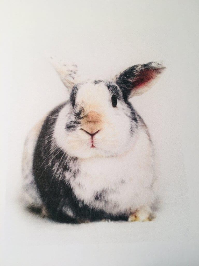 Du siehst hier ein Foto eines echten Hasen als Vorlage für das Aquarell