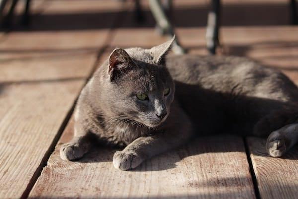 Du solltest hier eine grau Siamkatze sehen, die in Paynesgrau sicher hervorragend zu malen wäre